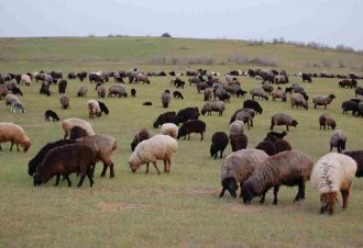 Turkmen Scientists Managed to Increase Sheep Meat Productivity
